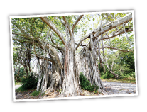 Banyan Tree at Hugh Taylor Birch State Park