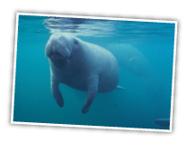 Manatee In the Intracoastal Waterway at Hugh Taylor Birch State Park